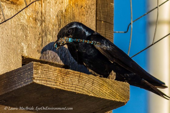 Adult male Purple Martin with dragonfly, at nest box