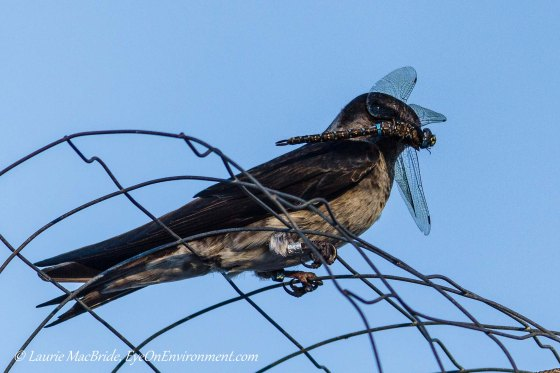 Young Purple Martin with dragonfly