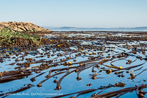 Thick kelp bed