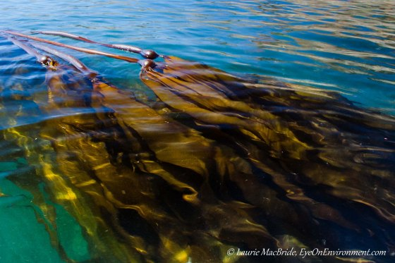Long blades of kelp flowing in the current