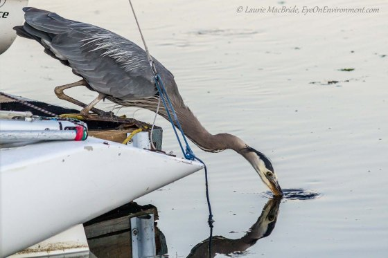 Heron fishing off a dock