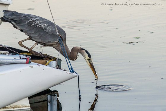 Heron lifting its head with two fish in its beack