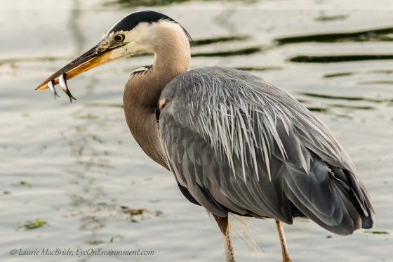Heron with two fish in beak
