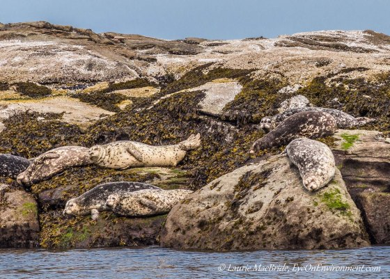 Harbour seals hauled out on a reef