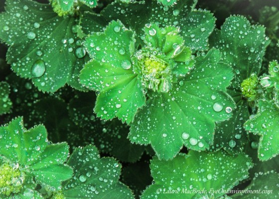 Raindrops on Lady's mantle plants.