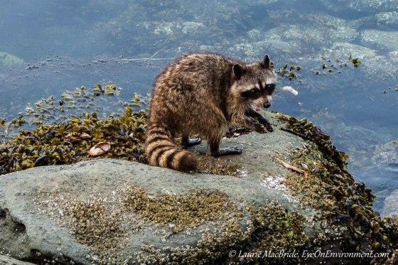 raccoon on shoreline