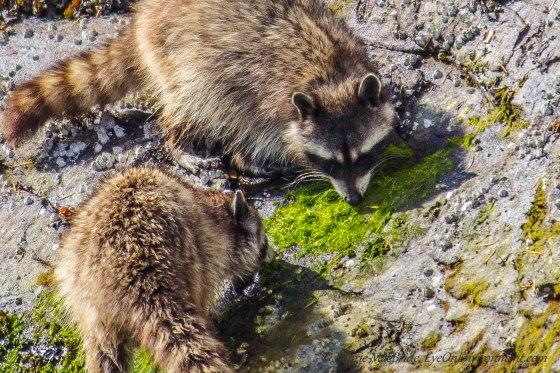 Raccoons appearing to eat seaweed