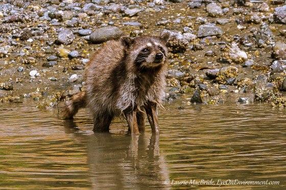Raccoon standing in shallows, gazing upward