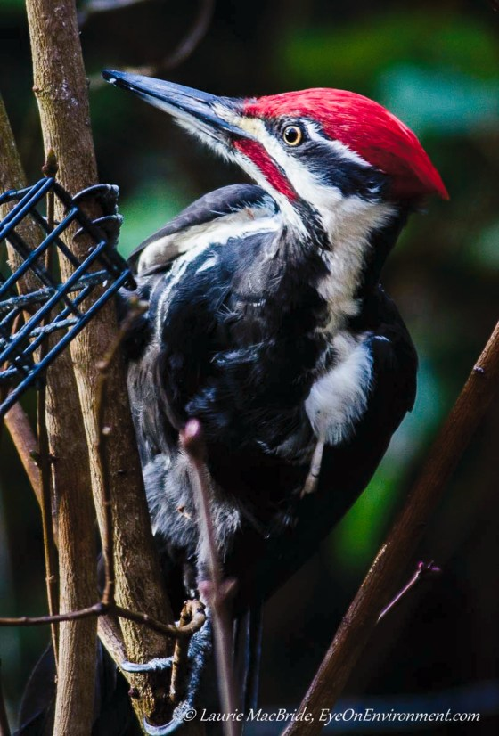 Pileated woodpecker at a suet feeder
