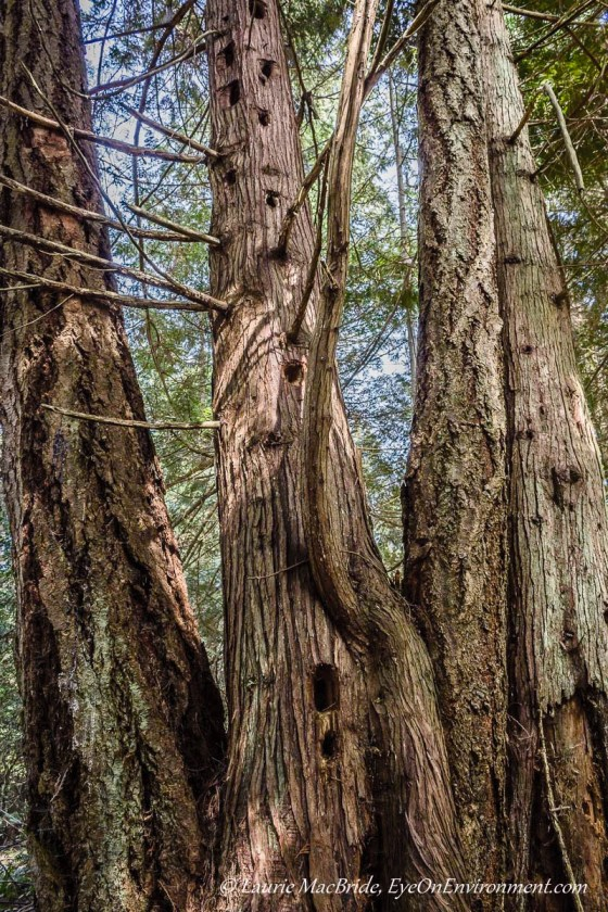 Tall conifers with line of deep woodpecker holes in one of them