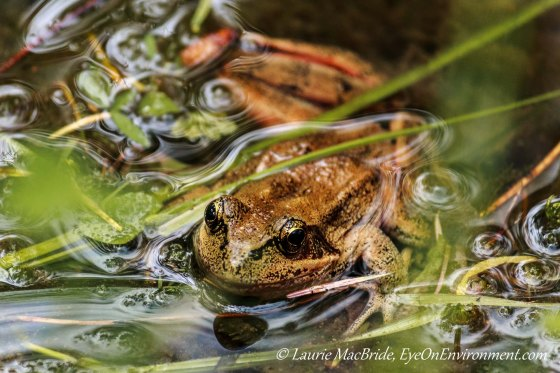 Red-legged frog floating at edge of pond