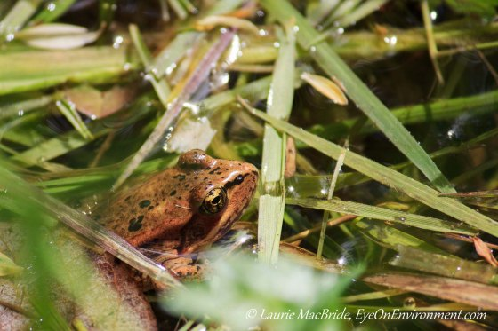 Frog partly hidden among grasses
