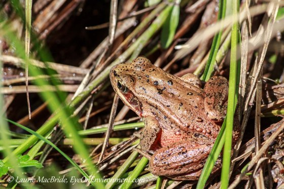 Red-legged frog among grasses