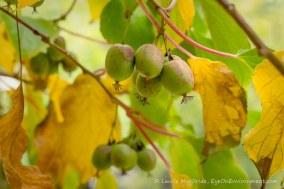 Ripe hardy kiwis on the vine