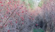 Rosehip Alley