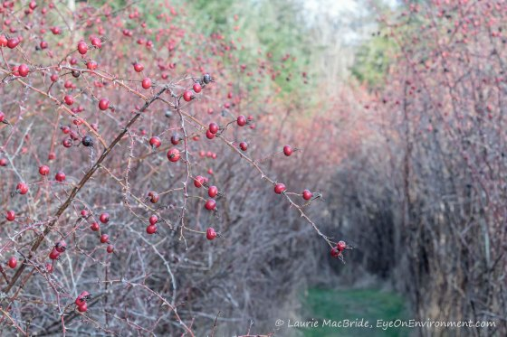 Rosehips with a path beside them