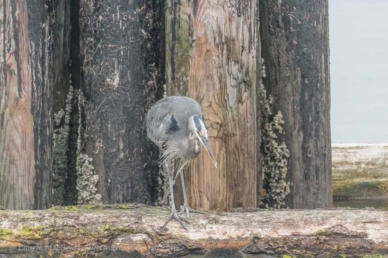Heron on a log boom with tiny fish in beak
