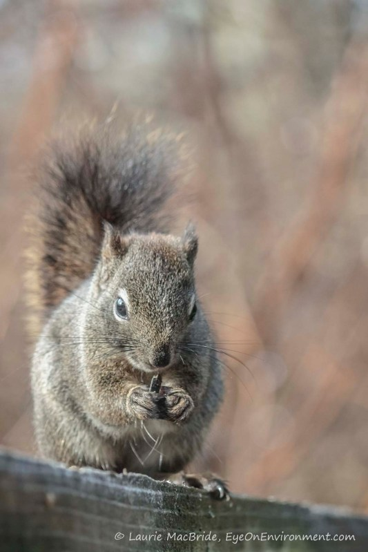 Squirrel eating a sunflower seed.