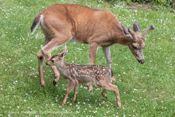 Buck with tiny fawn