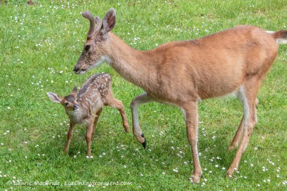 Fawn looking up at buck who's giving it very gentle kick