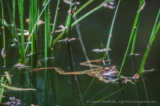 Red-legged frog floating outstretched in a pond with fir needles on its head and back