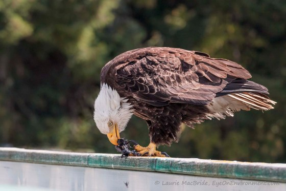 Mature bald eagle eating a small bird