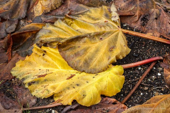 Yellow, decaying foliage of rhubarb plants