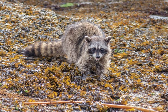 Raccoon digging under the seaweed in the intertidal zone