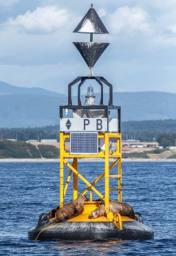 East cardinal buoy PB with sleeping sea lions aboard