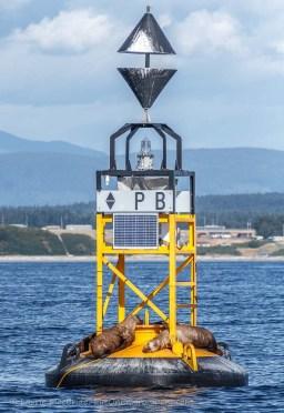 East cardinal buoy PB with sleeping sea lions aboard