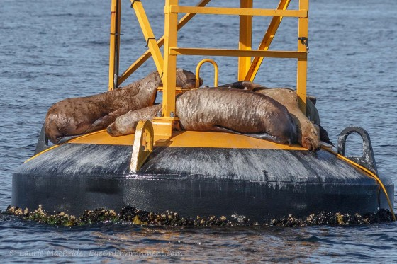 Three sea lions sleeping on a floating navigational buoy