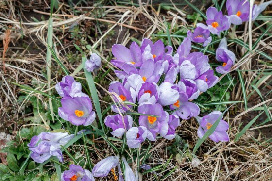 Purple crocuses emerging among dead grass and weeds