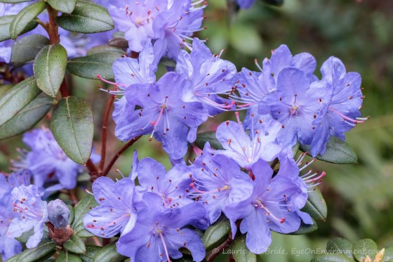 blue rhododendron blossoms