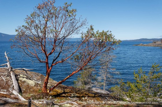 Arbutus tree and view up Malaspina Strait