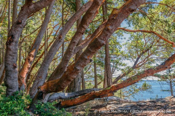 Large arbutus trunks arching over a seaside trail