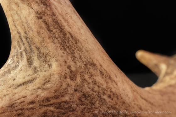 closeup of smooth antler surface with black background