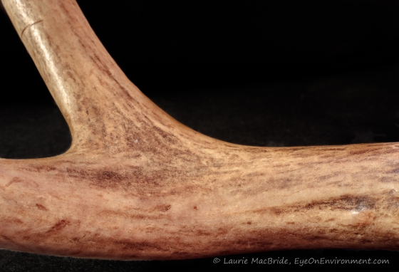 closeup of smooth part of antler with black background