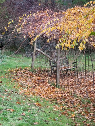 Kiwi vines in autumn colour