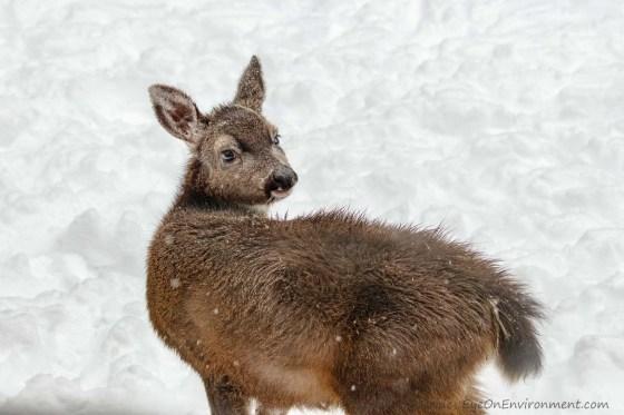 Fawn closeup in snow