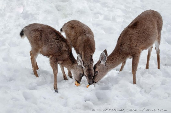 Doe and two fawns eating apples in the snow