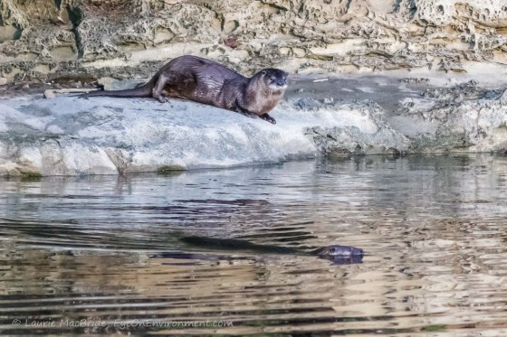 Mother river otter swims out while pup watches from shore