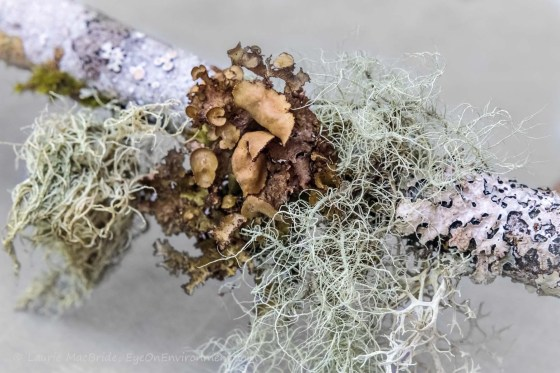 Varied lichens on part of a branch