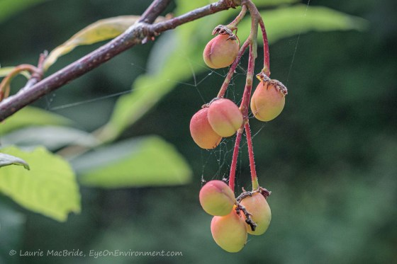 Cluster of Indian plum fruit hanging from branch