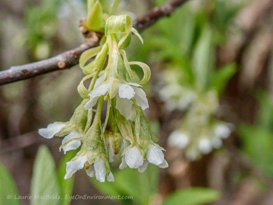 Detail of Iindian plum flowers