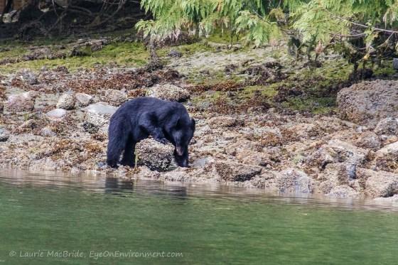 Black bear turning up boulder on beach