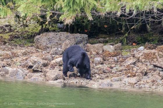Black bear eating what it found under boulder on beach