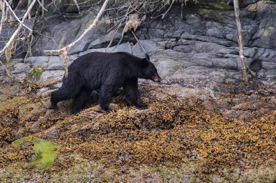 Black bear crossing intertidal area